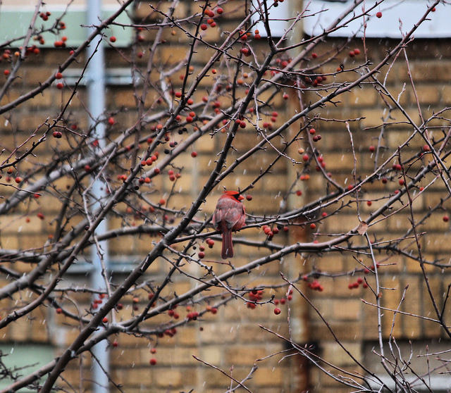 Cardinal and first snow in Hilleast, DC